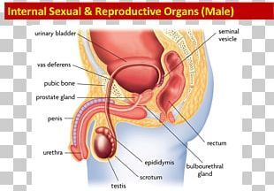 Female Reproductive System Function Human Body PNG