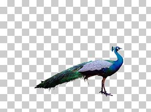 Bird Peafowl Feather Parrot PNG