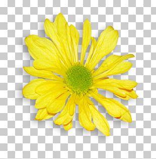 Daisy Family Chrysanthemum Argyranthemum Frutescens Oxeye Daisy Flower PNG