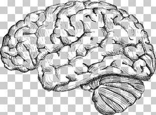 Human Brain Drawing Cerebrum PNG