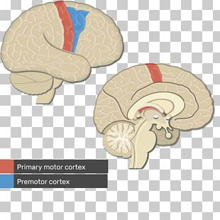 Visual Cortex Cerebral Cortex Primary Motor Cortex Brain PNG