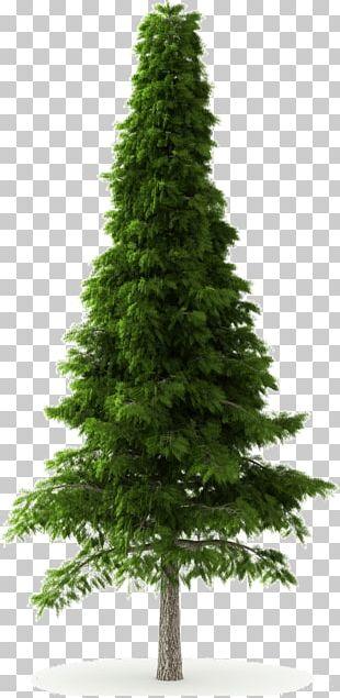 Deodar Cedar Himalayas Norway Spruce Tree Pine PNG