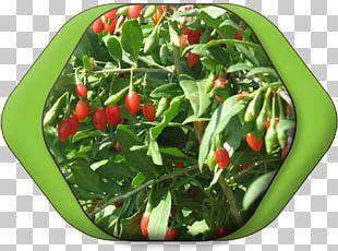 Habanero Bird's Eye Chili Tabasco Pepper Serrano Pepper Jalapeño PNG