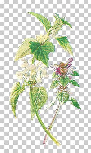 Common Nettle Purple Deadnettle White Nettle Familiar Wild Flowers Botany PNG