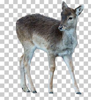 Musk Deer White-tailed Deer Reindeer Wildlife PNG