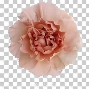Cabbage Rose Carnation Cut Flowers Pink Petal PNG