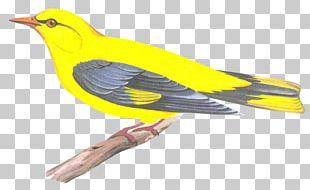 Eurasian Golden Oriole Finch Bird Beak Old World Orioles PNG