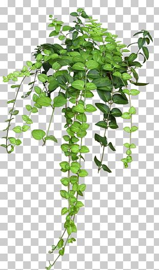 Plant Vine Rose Flower PNG