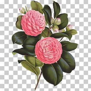 Japanese Camellia Photography Flower PNG