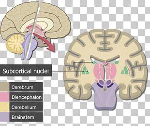 Human Brain Cerebrum Cerebral Cortex Anatomy PNG