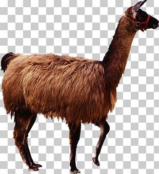 Alpaca Llama Guanaco Camel PNG
