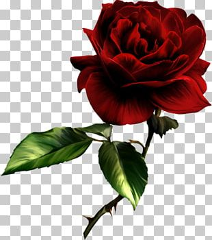 Vidia Friendship Love Sympathy Rose PNG