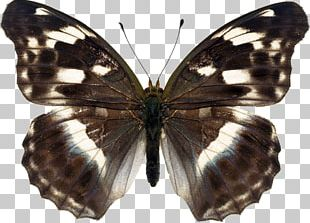 Brush-footed Butterflies Butterfly Pieridae Gossamer-winged Butterflies Moth PNG
