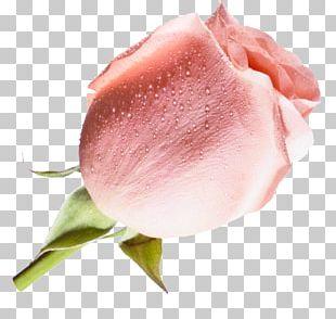 Beach Rose Flower Pink Raster Graphics Blue PNG