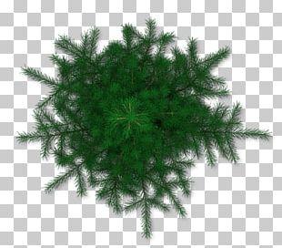 Tree Pine PNG