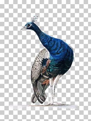 Watercolor Painting Asiatic Peafowl PNG