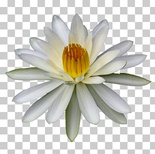 Flower Lilium Water Lilies Body Of Water Plant PNG