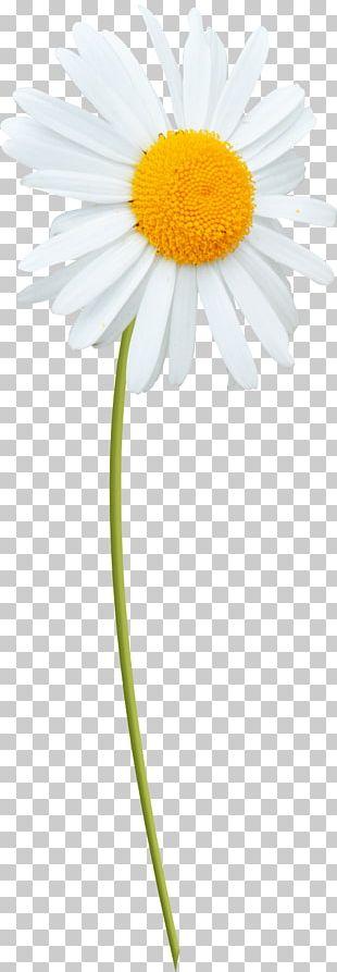 Oxeye Daisy Marguerite Daisy Roman Chamomile Transvaal Daisy Daisy Family PNG