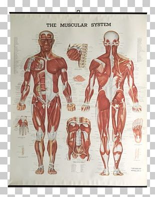 The Muscular System Anatomical Chart Muscle Anatomy Human Body PNG