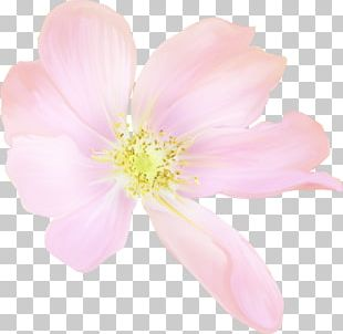 Cherry Blossom Rose Family Petal Pink M PNG