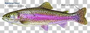 Rainbow Trout Fish Salmon Brown Trout PNG