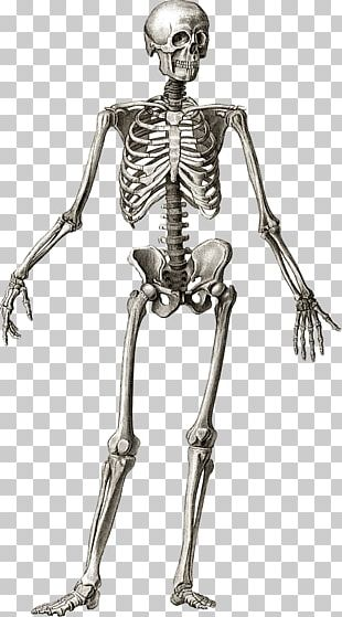 Human Skeleton Anatomy Bone Human Body PNG