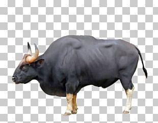 Ankole-Watusi Ox Gaur Chillingham Cattle Water Buffalo PNG