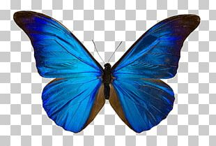 Butterfly Menelaus Blue Morpho Drawing Art Morpho Didius PNG