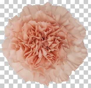Carnation Pink Cut Flowers Rose PNG