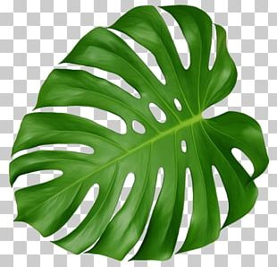 Leaf Swiss Cheese Plant Tropics PNG
