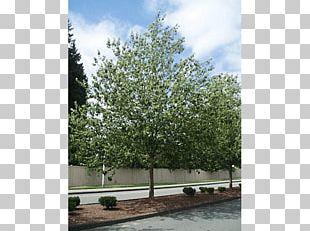 Tree Sugar Maple Shrub Nursery Autumn Leaf Color PNG