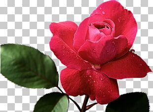 Rose Painting Red Pink Color PNG