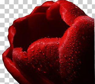 Garden Roses Beach Rose Petal 千図網 PNG