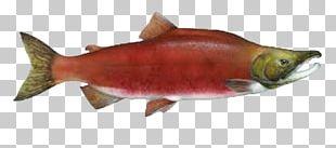 Columbia River Sockeye Salmon Chinook Salmon Chum Salmon Atlantic Salmon PNG