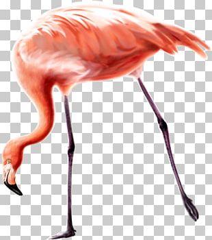 Bird Greater Flamingo PNG
