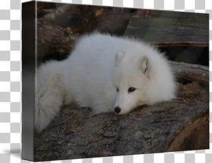 Arctic Fox Canadian Eskimo Dog American Eskimo Dog Dog Breed PNG