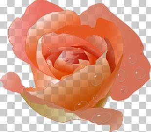 Peach Flower Rose PNG