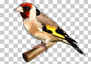 Bird The Goldfinch European Goldfinch Finches Drawing PNG