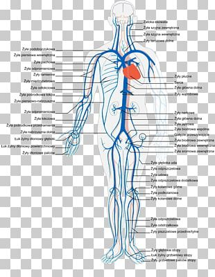 Vein Human Body Circulatory System Artery Anatomy PNG