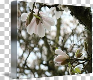 Magnolia Flower Blossom Spring Tree PNG