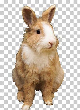 Domestic Rabbit Netherland Dwarf Rabbit Hare Holland Lop Rex Rabbit PNG