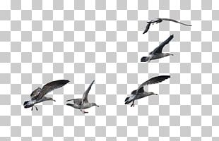 Bird A Flock Of Seagulls Cygnini A Flock Of Seagulls PNG