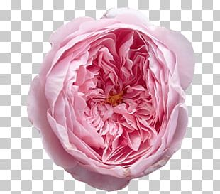 Garden Roses Centifolia Roses Floribunda David Austin's Roses English Rose PNG