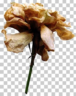 Cut Flowers Rose Family Plant Stem Petal PNG