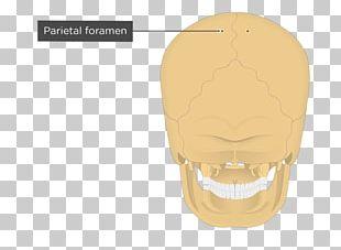 Parietal Bone Parietal Eminence Occipital Bone Anatomy PNG