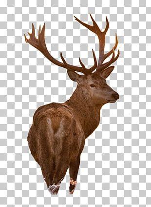 White-tailed Deer Moose Red Deer Reindeer PNG