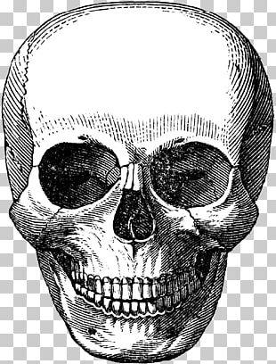 Skull Calavera Human Skeleton PNG
