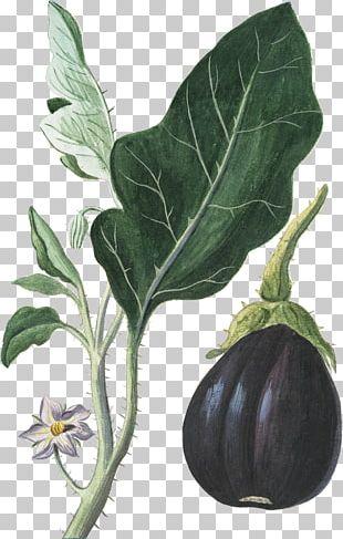 Eggplant Vegetable Botanical Illustration Botany PNG