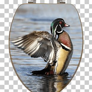 Mallard Wood Duck Stock Photography Waterfowl Hunting PNG