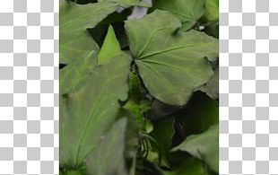Common Ivy Plant Fidelity Friendship Loyalty PNG